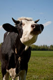 Cow in pasture Royalty Free Stock Images