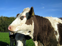 Cow on the pasture (12) Royalty Free Stock Photos