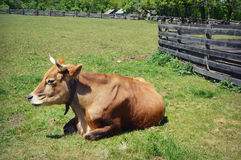 Cow in Pasture royalty free stock image