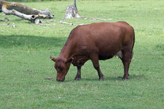 A Cow in a Pasture Stock Image