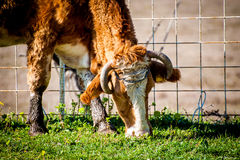 Cow on pasture, close-up Royalty Free Stock Images
