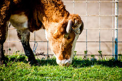 Cow on pasture, close-up Stock Photos