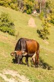 Cow on a pasture Royalty Free Stock Photo