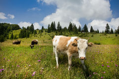 Cow on pasture Stock Images