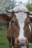 Cow an a pasture. Royalty Free Stock Photo
