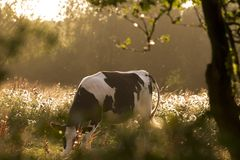 Cow, Pasture, Cows, Beef, Animal Royalty Free Stock Images