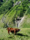 Cow on pasture in the French Alps. A cow on pasture in the heights of the French Alps Stock Images
