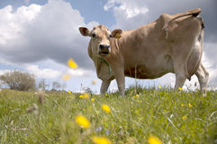 Cow on pasture Royalty Free Stock Photo