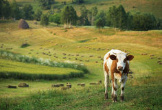 Cow on the pasture Stock Images