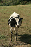 Cow in a Pasture Royalty Free Stock Photos