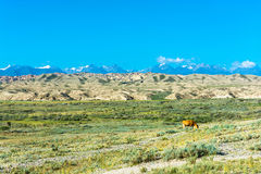 The cow in the pasture, Kyrgyzstan. Beautiful mountain landscape with cow in summer sunny day, Kyrgyzstan Stock Image