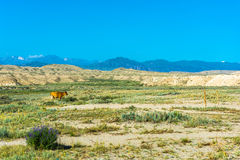 The cow in the pasture, Kyrgyzstan. Beautiful mountain landscape with cow in summer sunny day, Kyrgyzstan Royalty Free Stock Image
