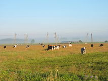 Cow pasture in meadow, Lithuania Stock Images