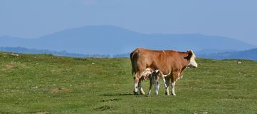 Cow in the pasture, mountain Dobratsch, Karawanken alps royalty free stock photos