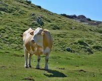 Cow in the pasture, mountain Dobratsch, Karawanken alps stock image