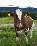 Cow pasture in the mountains Stock Photos