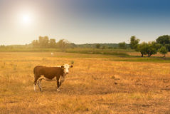 Cow on pasture. One cow on summer pasture Stock Images