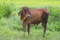 Cow on pasture Stock Photography
