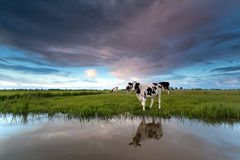 Cow on pasture by river Royalty Free Stock Photos