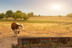Cow on the pasture. Cow on the summer pasture Royalty Free Stock Photography