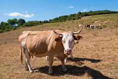 A cow on the pasture. On the summertime stock photo