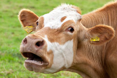Cow. At the pasture summertime royalty free stock photography