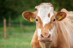 Cow. At the pasture summertime Royalty Free Stock Image
