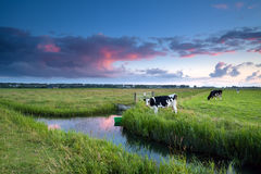Cow on pasture at sunset Royalty Free Stock Photo
