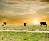 Cow on pasture at sunset Stock Photo
