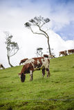The cow pasture Stock Photography