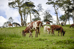 The cow pasture Royalty Free Stock Image