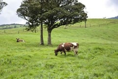 The cow pasture Stock Photos