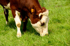 Cow in the pastures Royalty Free Stock Photos