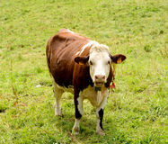 Cow in the  pastures Royalty Free Stock Photography