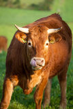 Cow pasturing Stock Photography