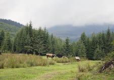 Cow pasturing in Carpathian mountains Royalty Free Stock Photos