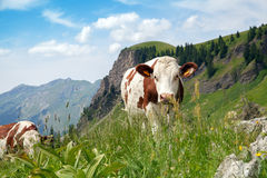A cow is pasturing on green lush meadow Royalty Free Stock Photo