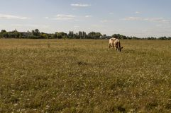 The cow is pasturing in the meadow of gold color. Early autumn Stock Photos