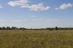 The cow is pasturing in the meadow of gold color. Early autumn Royalty Free Stock Photos