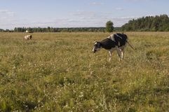 The cow is pasturing in the meadow of gold color. Early autumn Stock Image