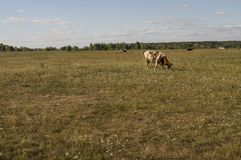 The cow is pasturing in the meadow of gold color. Early autumn Stock Images