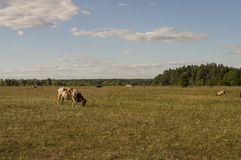 The cow is pasturing in the meadow of gold color. Early autumn Stock Photo