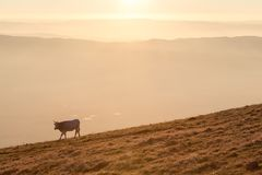 A cow pasturing on a mountain at sunset, with fog on the valley underneath.  Royalty Free Stock Photo