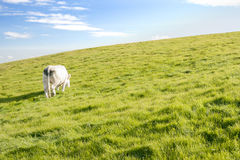 Cow pasturing. White cow pasture on grassland in Ireland Royalty Free Stock Images