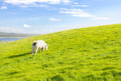 Cow pasturing. White cow pasture on grassland in Ireland Royalty Free Stock Photography