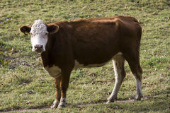 Cow. On the path in the middle of a meadow Royalty Free Stock Photography