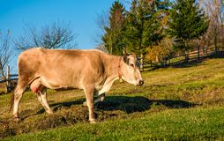 Cow paths pasture on hillside near forest. Lovely everyday episode of rural life Royalty Free Stock Photography