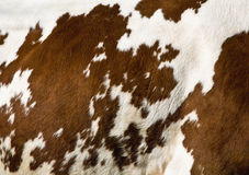 Cow pattern Stock Image