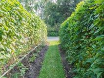 Cow-pea στο φυτικό κήπο Στοκ φωτογραφίες με δικαίωμα ελεύθερης χρήσης