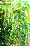 Cow-pea plants in the garden on a sunny day. With sunray Stock Image